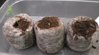 getlinkyoutube.com-Easy Step by step guide to sowing/growing Chilli seeds