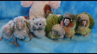 getlinkyoutube.com-5-3 week old Baby Green Cheek Conures