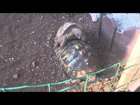 parenje kornjača čančara