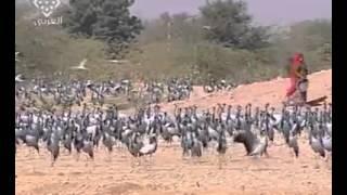 هجرة طيور الكرك سبحان الله