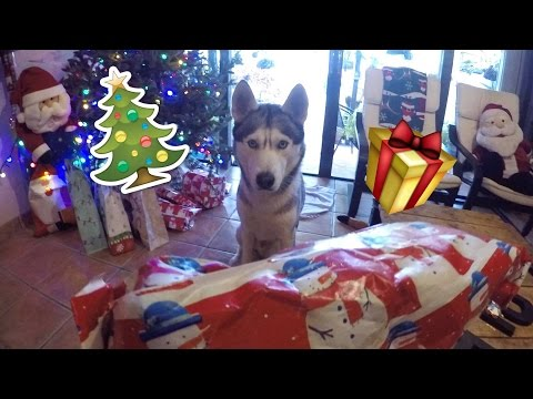 Husky Opening His Christmas Gift!!