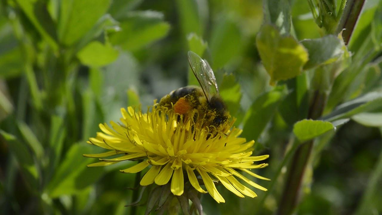 Pčela na maslačku sakuplja polen
