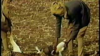 getlinkyoutube.com-People Hunting with Cheetahs, India 1939