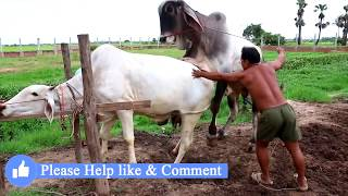 Live Stream: How To Breds Cows in cambodia - Amazing man breeds cows ការបង្កាត់ពូជសត្វគោ Wild animal width=