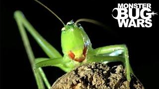 getlinkyoutube.com-Orange Mouth Tarantula vs Scarlet Mouth Katydid | MONSTER BUG WARS