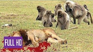 Babuíno Loucos vs Leon, Real Luta e Feroz Animais Selvagens, Ataques Macacos vs Leões width=