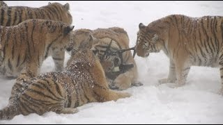 getlinkyoutube.com-Chubby Siberian Tigers Hunt Electronic Bird of Prey