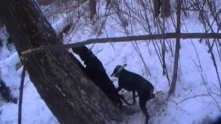 getlinkyoutube.com-Treed bobcat with hounds in wisconsin 2010