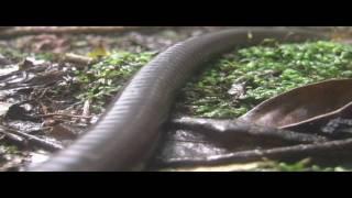 getlinkyoutube.com-Giant Earthworm
