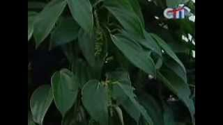 getlinkyoutube.com-How to grow Black Pepper in Kep province at CNC TV