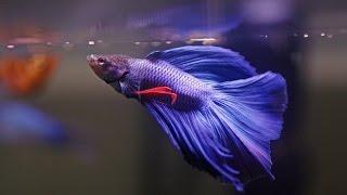 getlinkyoutube.com-HOW TO: Care for Betta Fish