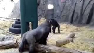 getlinkyoutube.com-Gorilla Fight or not  !!The biggest battle of 2010