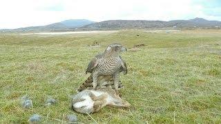 getlinkyoutube.com-Hunting Rabbits with a Goshawk, Falconry SB3