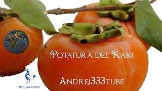 getlinkyoutube.com-Botanica e giardinaggio - Potatura cachi (Diospyros kaki)
