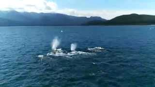 getlinkyoutube.com-Humpback Whales - Alaska 2015  - Carnival Legend