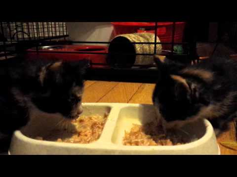The cutest video of kittens eating ever!