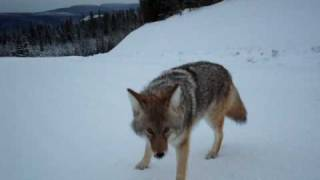 Coyote Attack Best Footage Ever