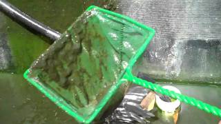 Feeding Algae to Tilapia & Crawfish