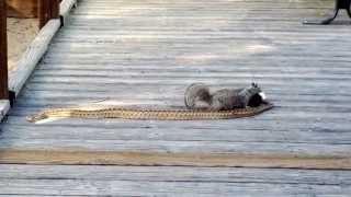 getlinkyoutube.com-Squirrel vs snake