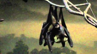 Bat mating behavior