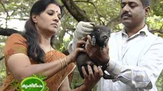 getlinkyoutube.com-Scientific ways of pig rearing and various breeds of pigs