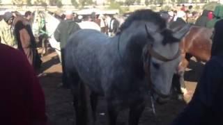 getlinkyoutube.com-Location cheval mariage marocain 06 81 83 02 35