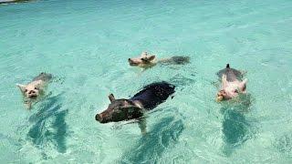 getlinkyoutube.com-WHEN PIGS SWIM: THE FILM (EXUMA, BAHAMAS)