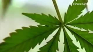Organización busca que se despenalice de la marihuana en Kansas City
