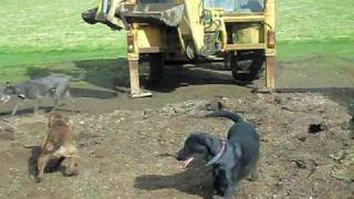 getlinkyoutube.com-rat catching with farm dogs about 250 rats part 1 rats fail