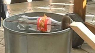 getlinkyoutube.com-Eimerfalle für Mäuse * Bucket trap * Alive after Coke