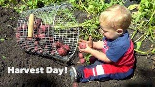 getlinkyoutube.com-Harvesting Day! Onions, Potatoes, Garlic & more!
