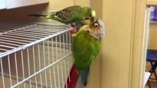 getlinkyoutube.com-Parakeet Vs Green Cheek Conure