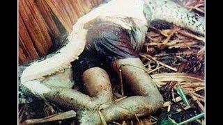 getlinkyoutube.com-the world's biggest snake found alive!!! NEW 2013 !!! самая огромная змея в мире