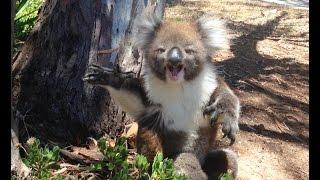 getlinkyoutube.com-Koala Gets Kicked Out Of Tree and Cries!