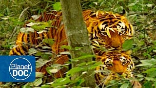 getlinkyoutube.com-Mating | The Tiger War