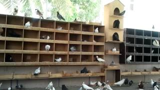 shidhani fancy pigeons 2.mp4