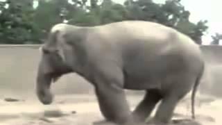 Elephant Dancing Disco in the Zoo.