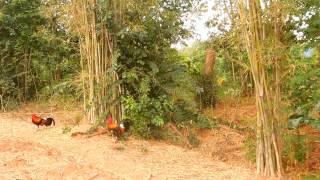 getlinkyoutube.com-ต่อไก่ป่า (ซ้าง)เด็กดอย