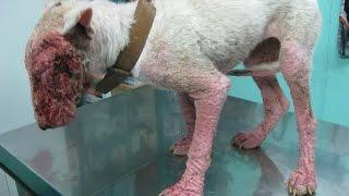 getlinkyoutube.com-La Historia de Tara, la Bull Terrier