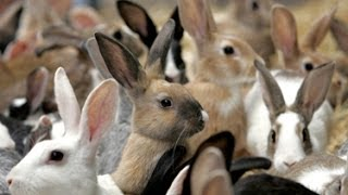 getlinkyoutube.com-Tons of Different Rabbits Free Range Grazing