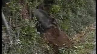 getlinkyoutube.com-Jabalí atrapado en un lazo.