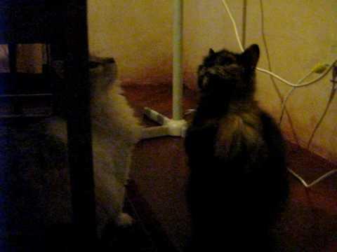 Mi gatita Thalia llorando por su comida