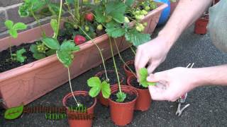 getlinkyoutube.com-Planting Strawberry Runners, Propagating Strawberries the easy way.