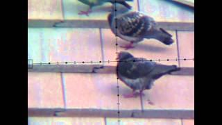 getlinkyoutube.com-FX Royale 500 -- Pigeon Chest Shot at 70 Yards. ---   Warning Graphic