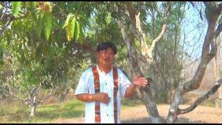 getlinkyoutube.com-มะม่วง : ตอน วิธีการดูแล และการตัดแต่งกิ่งหลังการเก็บผลมะม่วง