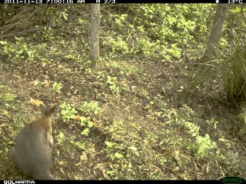 'Red Neck Pademelon Gully 2 -The Return of the Feral Canids'