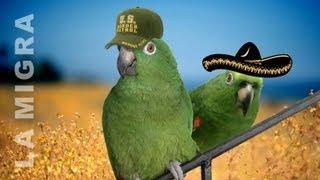 getlinkyoutube.com-Loros corren de la migra - loros chistosos, loro canta