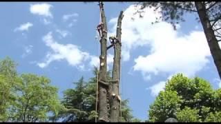 Abbattimento in Tree-climbing Cedro del Libano a Norcia (Umbria)