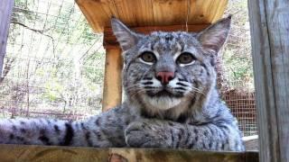 """MAX - Rescued """"Pet"""" Bobcat"""