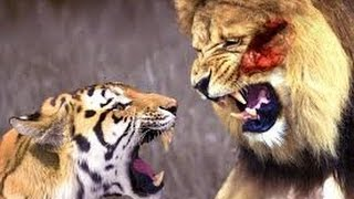 getlinkyoutube.com-Lion Vs  Tiger Which The Battle Of Survival
